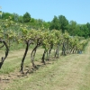 vineyard-in-spring-005