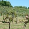 vineyard-in-spring-011